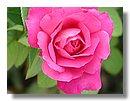 roses (01) .jpg