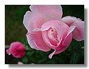 roses (00) .jpg
