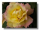 roses (08) .jpg
