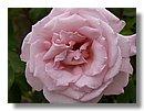 roses (05) .jpg