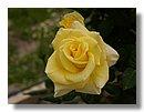 roses (03) .jpg