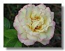 roses (02) .jpg