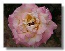 roses (04) .jpg