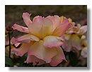roses 12) .jpg
