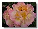 roses 13) .jpg