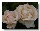 roses (11) .jpg