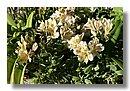 Alstroemeria (Lily du Pérou)