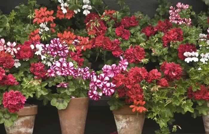 Soins-au-geranium.jpg
