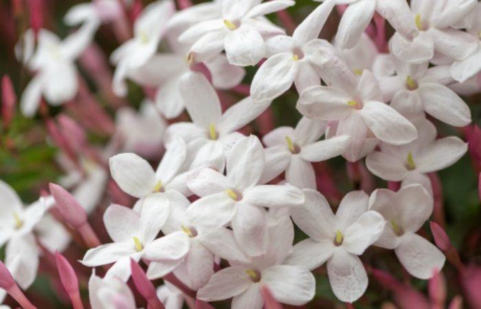 Soins-Jasmin-Jasminum-polyanthum.jpg