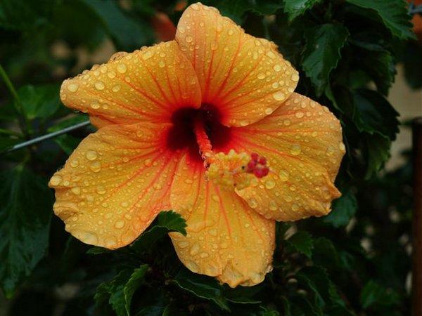 Soins d'hibiscus
