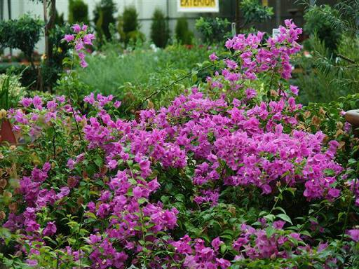 Soins Bougainvilliers