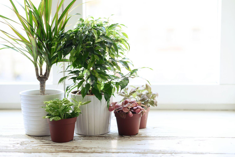 Plantes pour la maison