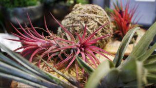 Plantes pour faire des kokedamas